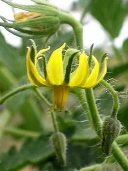 Fleur de tomate. © DR