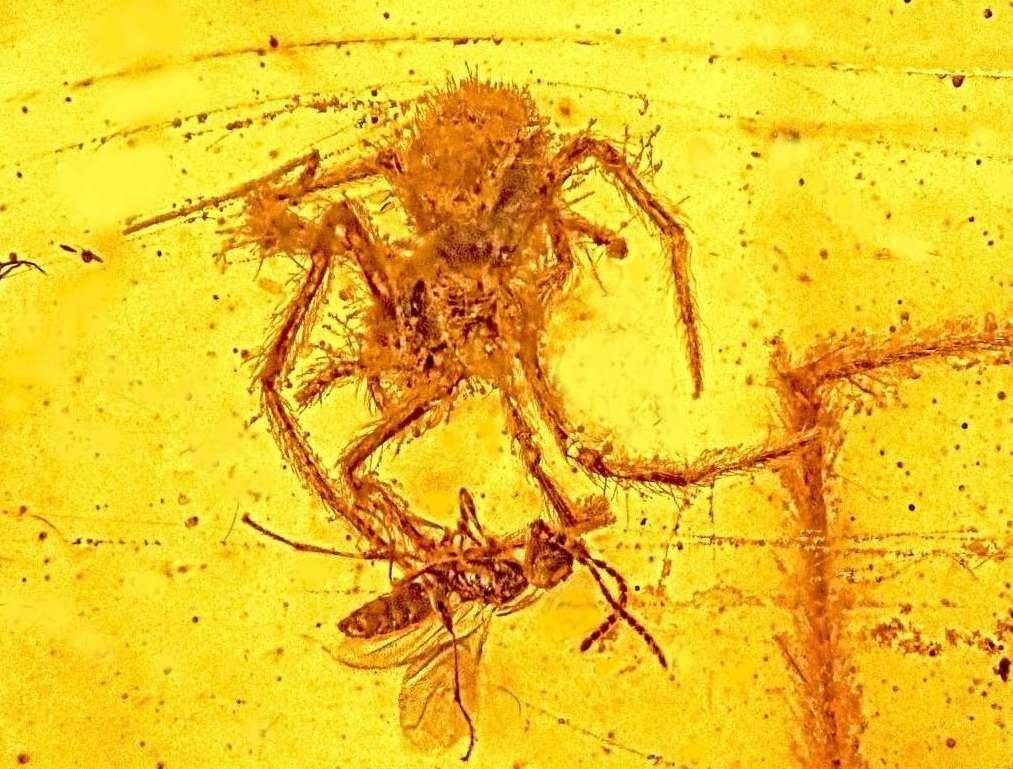 Voici le seul fossile montrant une attaque d'araignée connu à ce jour. Les deux animaux auraient été englués dans la résine il y a environ 100 millions d'années. Geratonephila burmanica, l'arachnide, appartient à la famille des néphilidés. © Oregon State University, Flickr, CC by-sa 2.0