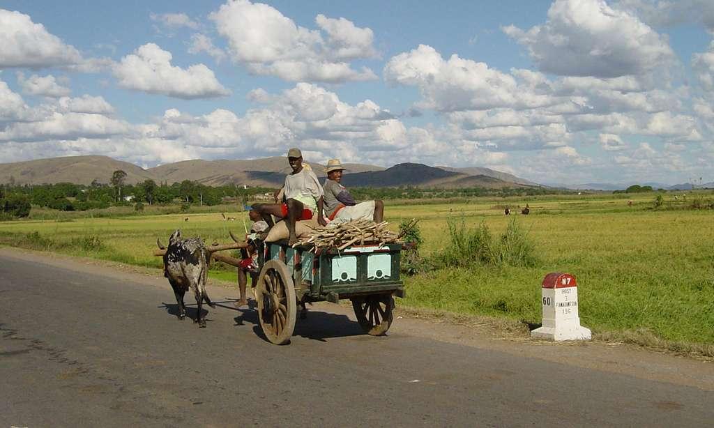 Charrette à zébus sur la nationale 7, Madagascar