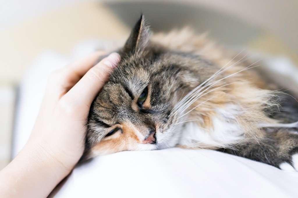 Les chats peuvent être stressés par nos caresses sans trop en laisser paraître. © Kristina Blokhin, Adobe Stock