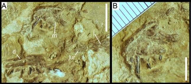 Un embryon de Torvosaurus découvert au Portugal. Sur l'image A, on peut observer son maxillaire droit (m), sa dentition (d) et l'os malaire (j) et (jur). La barre d'échelle est de 10 mm. L'image B est un zoom sur le maxillaire droit de l'embryon. La barre d'échelle est de 5 mm. © Ricardo Araújo et al., Scientific Reports