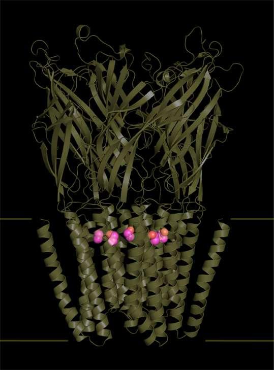 Représentation schématique de la structure tridimensionnelle du complexe entre un récepteur bactérien (similaire à un récepteur nicotinique) et l'éthanol (représenté en rose). © Sauguet et al., Nature Communications