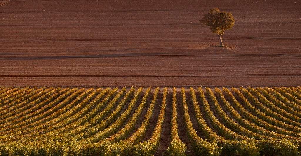 Les vins du val de Loire sont sous un cépage commun : le cabernet franc. © Frederick Wildman and Sons, Ltd CC BY-SA 2.0