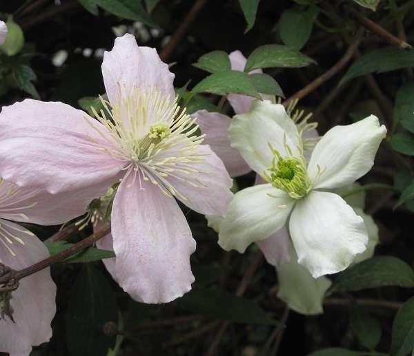 Floraison de la clématite montana. © S.Chaillot