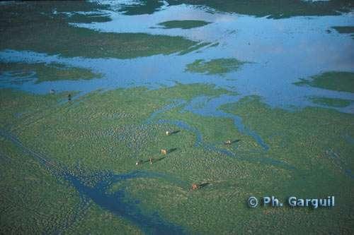 Les marais communaux du marais poitevin sont utilisés pour le pâturage extensif. © Ph. Garguil, Parc interrégional du marais - Tous droits de reproduction interdit