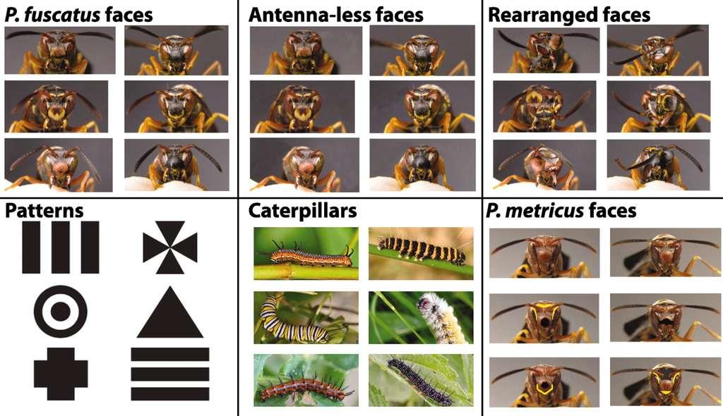 Les différentes catégories d'images que les guêpes devaient distinguer : tête de P. fuscatus, tête de P. fuscatus sans antenne, images déformées de têtes, forme géométrique, chenilles et têtes de P. metricus. © Sheehan et Tibbetts, 2011, Science