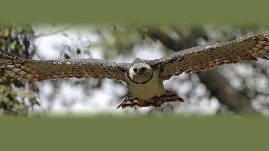 La harpie féroce, l'aigle mangeur de singes