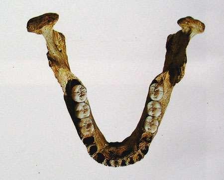 Mandibule de Homo. © DR