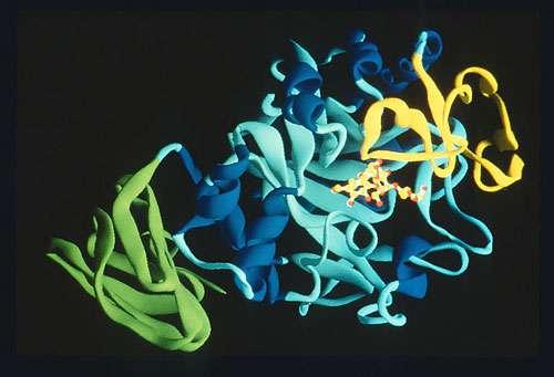 Chaîne C-alpha d'une alpha-amylase pancréatique, montrant les trois domaines structuraux et la région du site actif fixant un médicament anti-diabète (l'acarbose). Programme IMABIO. © CNRS Photothèque / HASER Richard