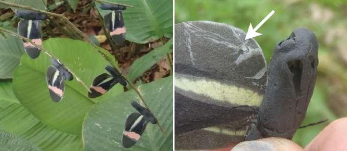 À gauche, les leurres, faits de cire permettant ensuite de distinguer les coups de bec d'oiseaux, comme celui indiqué par la flèche sur l'image de droite. © Finkbeiner et al. 2012, Proceedings of the Royal Society B