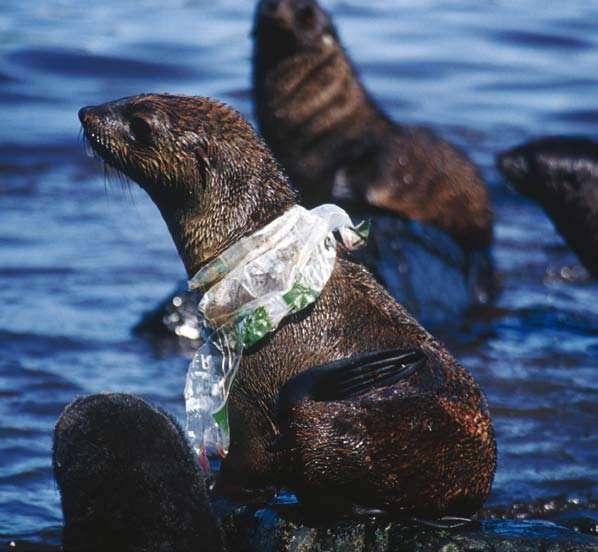 Ce phoque s'est trouvé un collier original mais qui va l'handicaper pendant la chasse aux poissons. Cette parure de plastique finira par se déchirer et se détacher. Puis, elle se transformera en minuscules particules qui pourront être ingérées par de multiples organismes marins. © British Antartic Survey