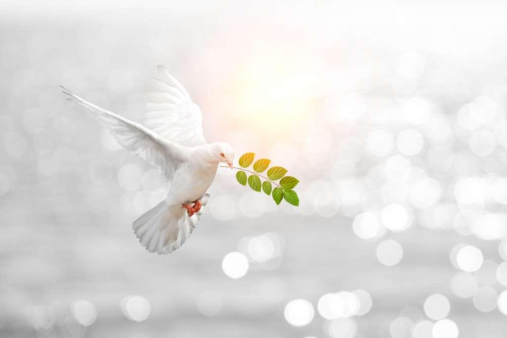 Les colombes ne correspondent à aucune classification biologique. Dans la majorité des cas, ce sont en fait des pigeons blancs. © Sakepaint, Adobe Stock