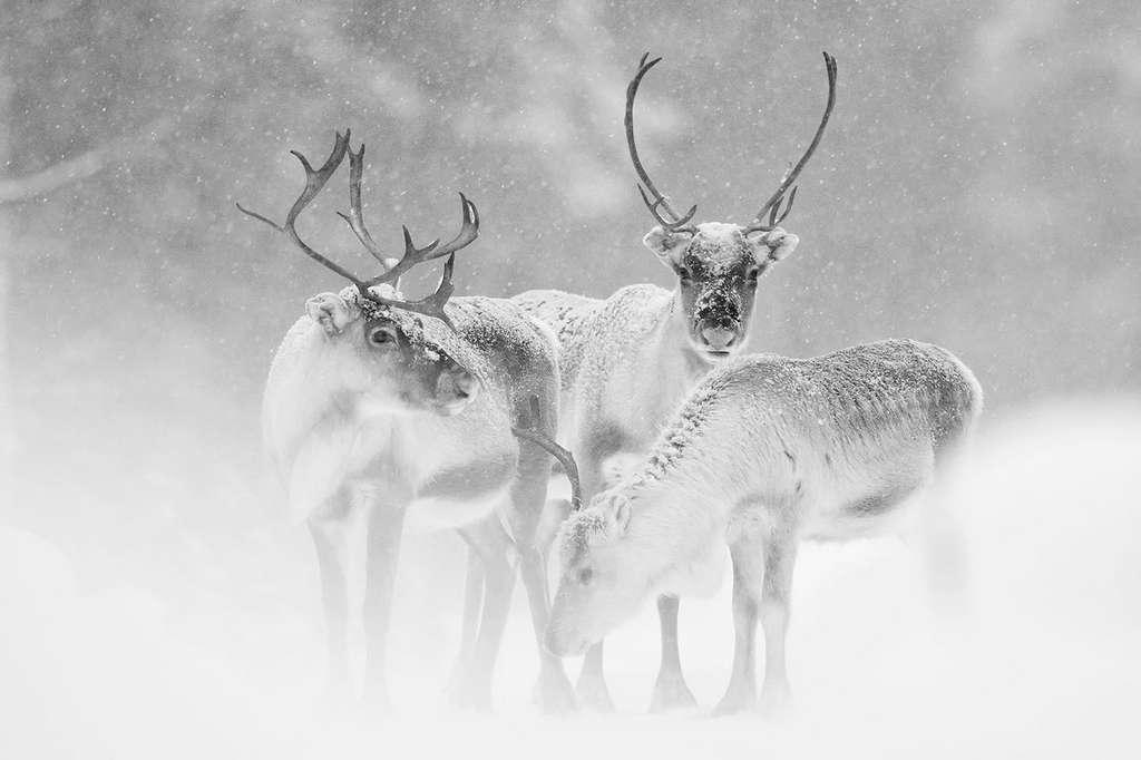 En Laponie suédoise, les rennes sont aujourd'hui menacés par le réchauffement climatique. La neige qui fond et les averses de pluie forment une couche de glace dès que la température redescend. Une couche de glace qui empêche les rennes d'accéder à la nourriture prisonnière en dessous. © Gregory Pol, tous droits réservés
