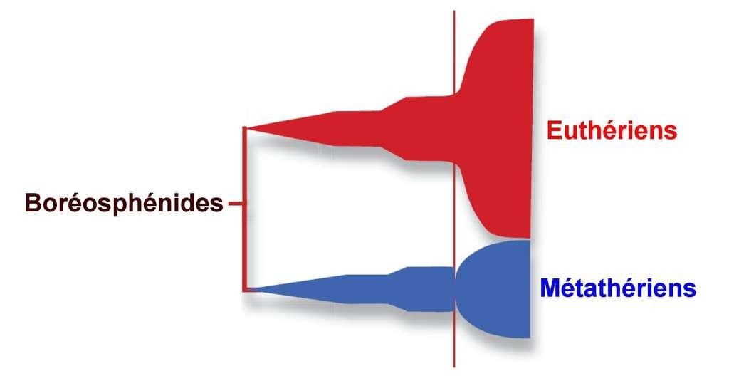 Différenciés depuis déjà une centaine de millions d'années, les euthériens et les métathériens n'ont pas vécu de la même manière la crise K-T (le trait vertical rouge de droite). Sur ce schéma, le temps s'écoule de gauche à droite et la largeur des zones colorées indique le nombre d'espèces connues. Les euthériens (groupe auquel appartiennent les mammifères placentaires actuels) ont bien résisté et se sont diversifiés tandis que les seconds (les marsupiaux d'aujourd'hui) ont vu le nombre d'espèces chuter pour repartir ensuite, mais sans jamais rattraper les euthériens. © D'après Thomas E. Williamson et al., ZooKeys, 2014