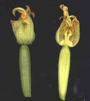 Jeunes fruits de courgette. Sur la coupe longitudinale, le jeune fruit apparaît se développer sous la fleur. Il est formé à partir d'un ovaire infère. © B.Media, DR