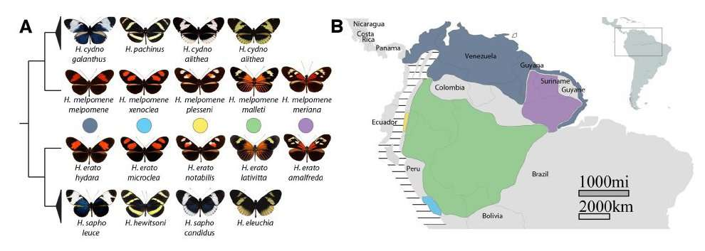 Diversité des espèces au sein du genre Heliconius. On voit que des espèces génétiquement éloignées ont des phénotypes similaires. On parle de convergence évolutive. © Reed et al., 2011