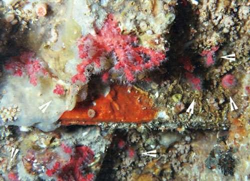 Figure 15a : colonies juvéniles (flèches) et leurs parents dans une grotte artificielle de Monaco, 30 m. © J.-G. Harmelin, tous droits réservés, reproduction et utilisation interdites
