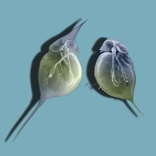 Le plancton Daphnia lumholtzi exhibe des casques spectaculaires et des épines de la queue pour se défendre lorsqu'il est exposé à des poissons (à gauche), mais pas en l'absence de poissons (à droite). © Christian Laforsch
