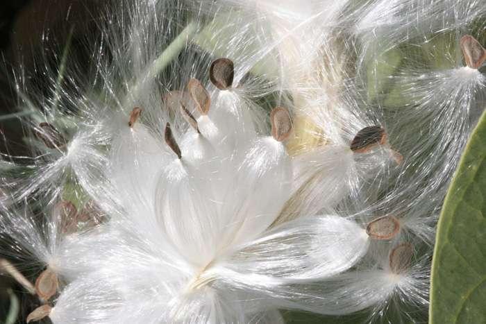 Flore du Maroc - Calotropis procera - détail graines