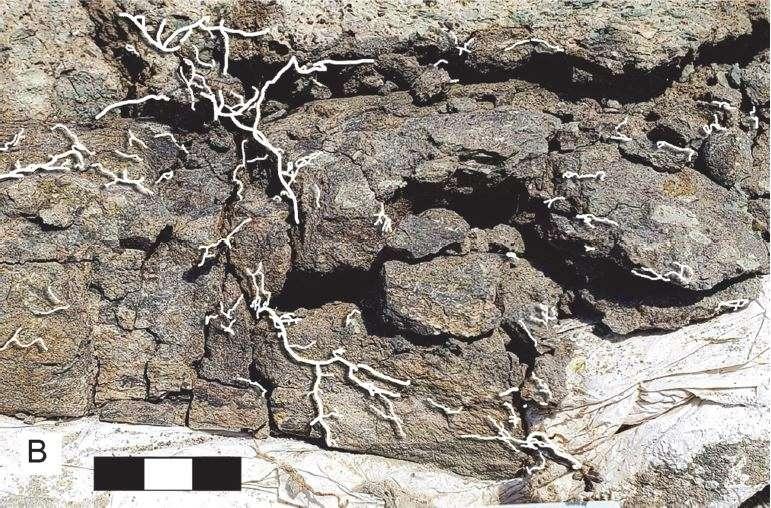 Des racines (colorées artificiellement en blanc sur l'image) ont poussé dans les fissures du fossile. © Brown and Holliday, 2021