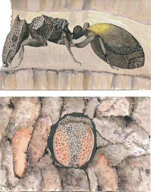 Les fourmis « portiers » obturent le trou d'accès du nid avec leur tête aplatie en forme de disque. © D. Gourdin