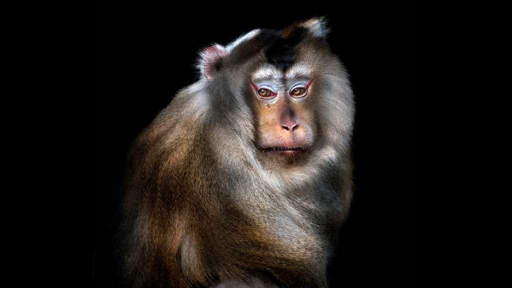 Le Macaque rhésus, un animal sacré de l'Inde