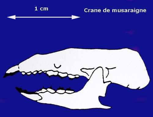 Crâne. © Toute reproduction et utilisation interdites