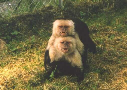 Double menace chez le capucin moine. © Jean-Baptiste Leca - Reproduction et utilisation interdites