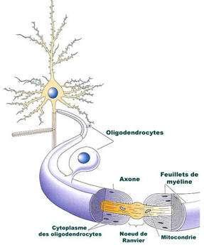 Représentation d'un oligodendrocyte. Comme les cellules de Schwann au niveau des nerfs périphériques, les oligodendrocytes sont à l'origine de la gaine de myéline formée autour d'un très grand nombre d'axones du système nerveux central et de la moelle épinière. La gaine de myéline est interrompue à intervalles réguliers par les nœuds de Ranvier. © DR