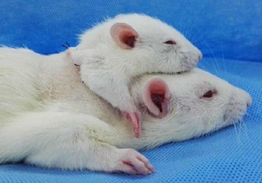 Dans un article paru en avril 2017, les auteurs décrivent un rat sur lequel a été greffée une deuxième tête. © Li et al., CNS Neuroscience & Therapeutics 2017