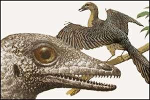 L'Archéoptéryx (Archaeopteryx lithographica) est un curieux animal mi-dinosaure mi-oiseau. © dessin Ornithomedia