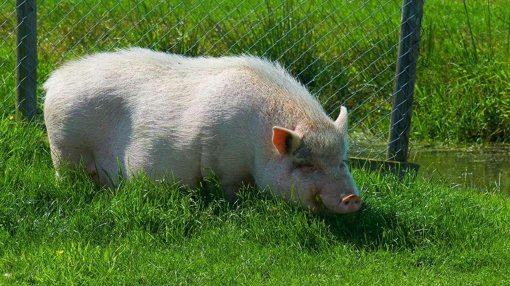 Le cochon vietnamien ou cochon ventru