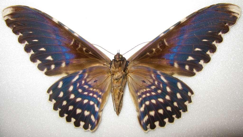 Le papillon Thysania agrippina est l'insecte qui a la plus grande envergure d'ailes au monde. © Anaxibia, Wikimedia Commons, CC by-sa 3.0
