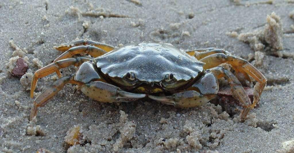Quel est le mode de vie des algues ? Ici, crabe Carcinus maenas. © D. Hazerli, Wikimedia Commons, DP