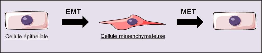 Figure 28. La transition épithéliomésenchymateuse (EMT). L'EMT attribue transitoirement à une cellule épithéliale les caractéristiques d'une cellule mésenchymateuse. La réversion de l'EMT s'appelle la transition mésenchymoépithéliale (MET) qui permet à la cellule de retrouver ses caractéristiques de cellule épithéliale. © Grégory Ségala
