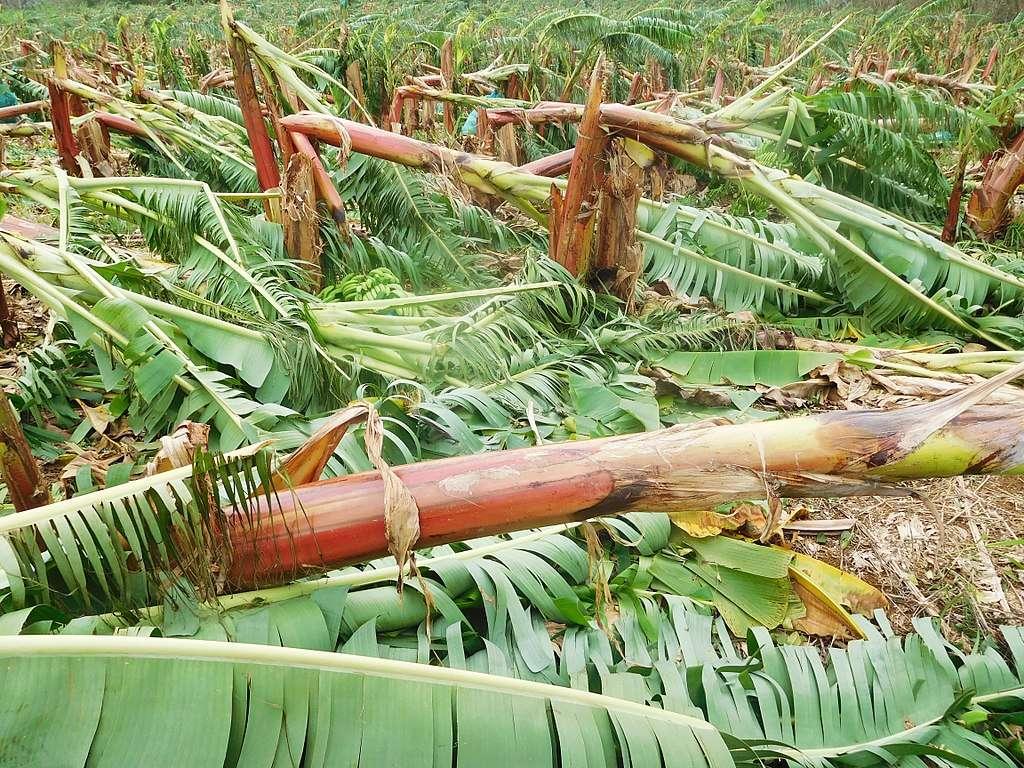 Dommages causés dans des bananeraies en Guadeloupe après le passage de l'ouragan Maria en 2017. © Filo gen, Wikimedia commons, CC 4.0