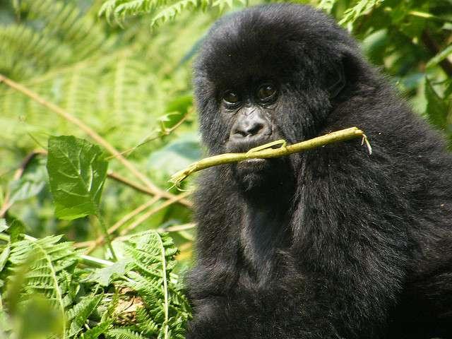 Des gorilles de Hirwa sont décédés d'un virus d'origine humaine. © petercolesdc, Flickr, CC by-sa 2.0