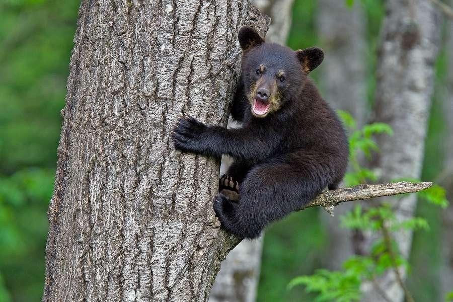 Bébé ours brun