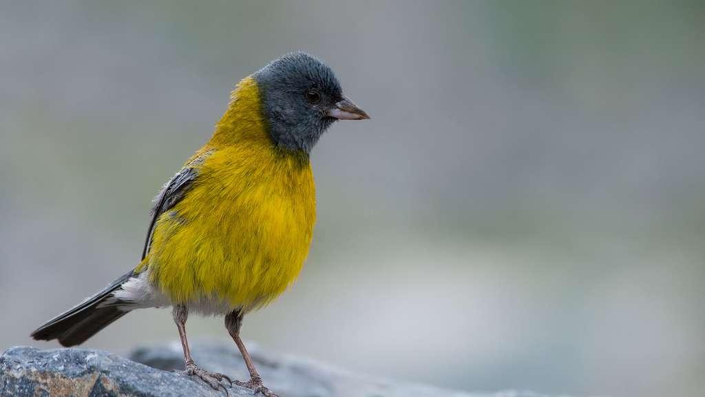 Phrygile à tête grise, un oiseau à cagoule