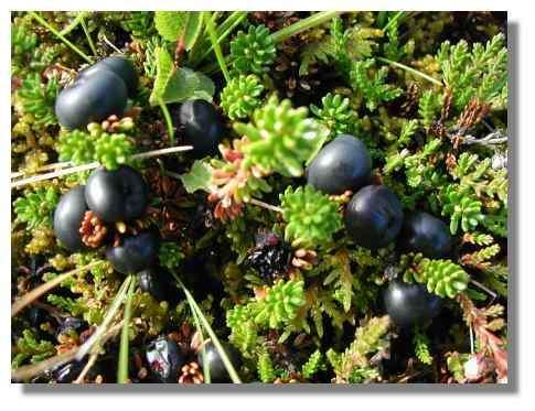 Fruits d'Islande - Copyright Photo Daniel Brindeau