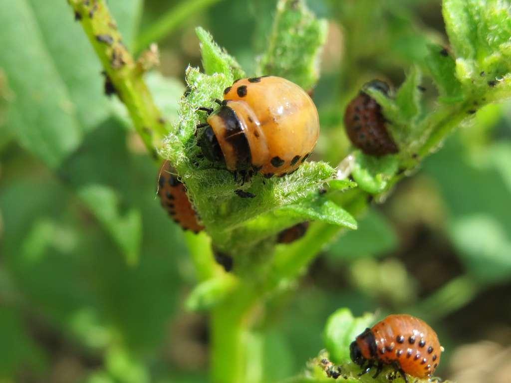 Observez rapidement les larves de doryphores dévoreuses des feuillages. © AnRo0002, Domaine Public