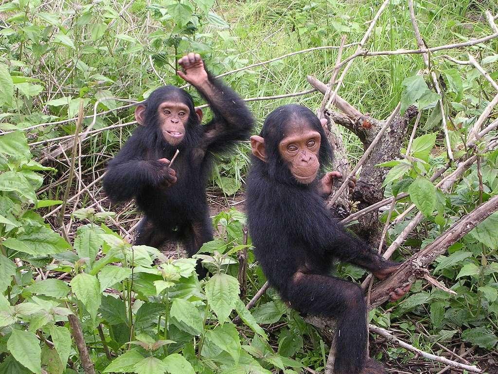 Jeunes chimpanzés du sanctuaire Jane Goodall de Tchimpounga (Congo-Brazzaville). © Delphine Bruyère, cc by nc 3.0