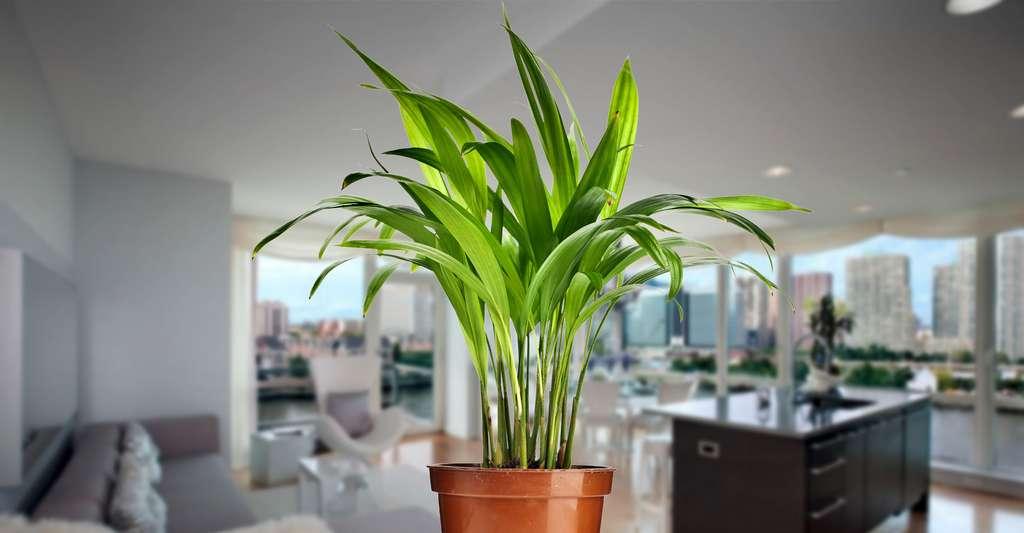 Chrysalidocarpus lutescens. © Madlen, Shutterstock