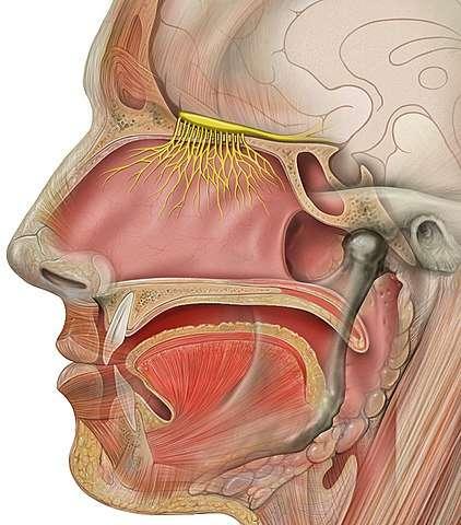 Représentation du bulbe olfactif et des nerfs olfactifs humains (en jaune). © Patrick J. Lynch, Medical illustrator, wikimedia commons, CC 2.5