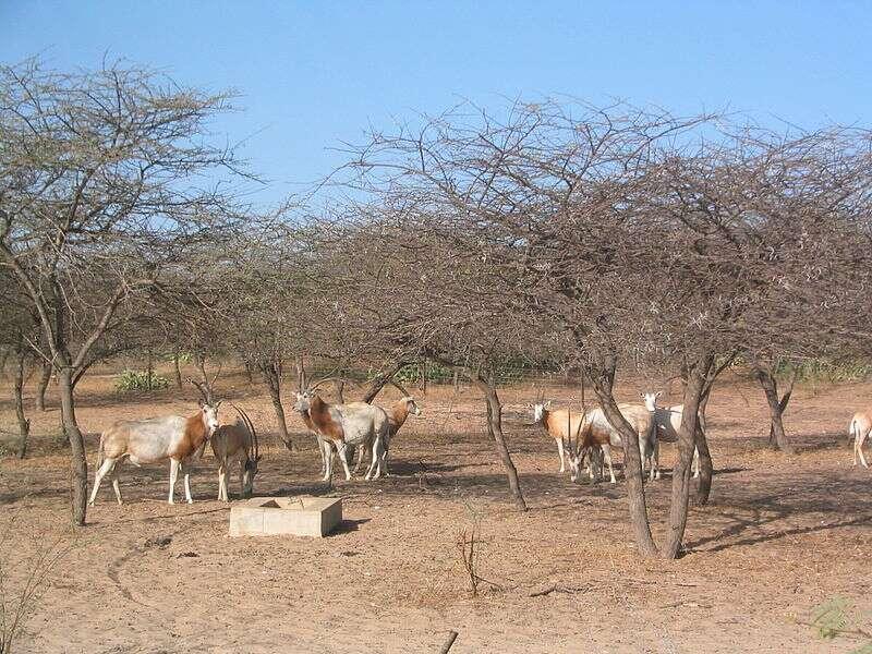 Des oryx algazelles dans la réserve de Guembeul, au Sénégal. © Ji-Elle, Wikipédia, DP