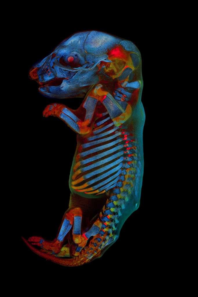 Embryon de rat entier. © Werner Zuschratter, Olympus Image of the Year Award 2020
