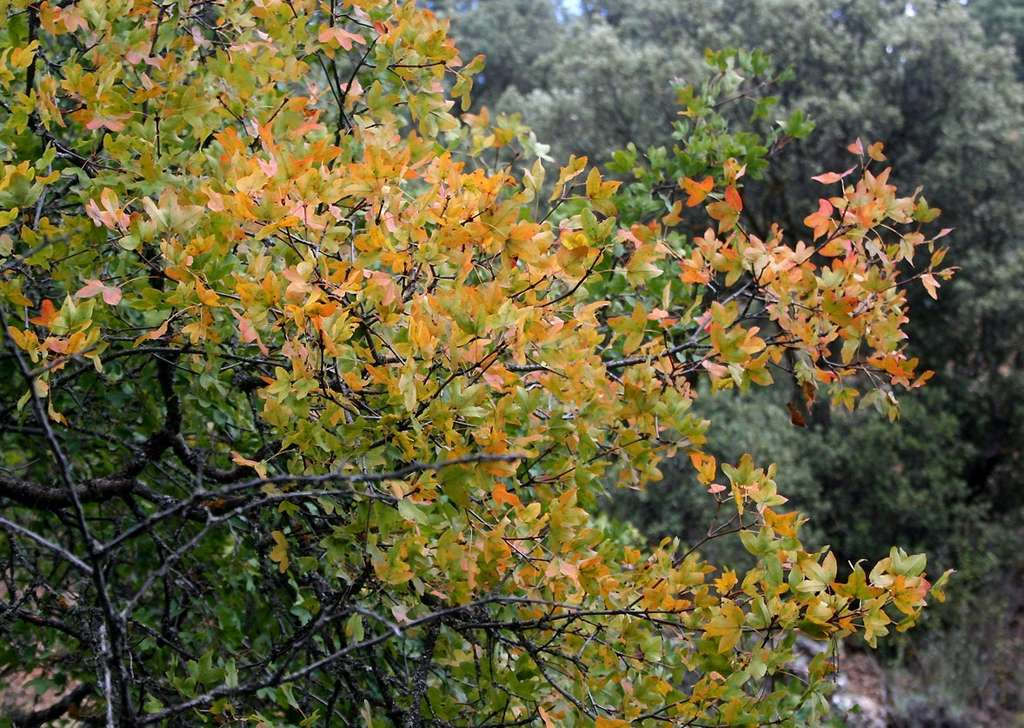 Acer monspessulanum. © Manuel M. Ramos, Flickr CC by nc-sa 3.0