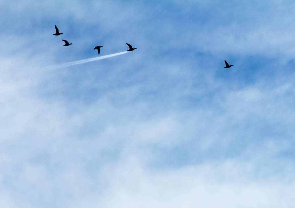 Un canard qui met les gaz ! © John Threlfal, Comedy Wildlife Photography Awards