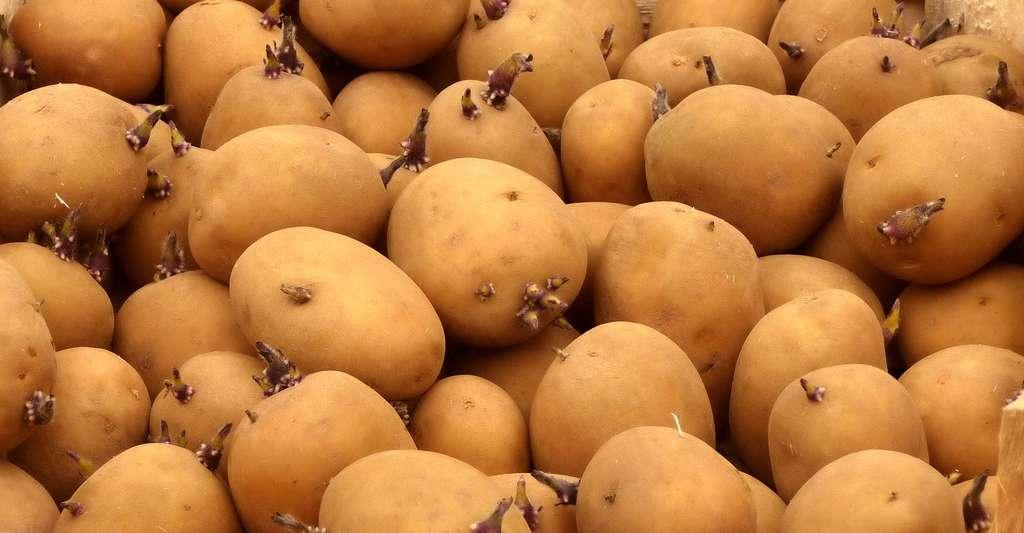 Faut-il acheter des plants germés ou non germés de pommes de terre ? © Spedona, DP