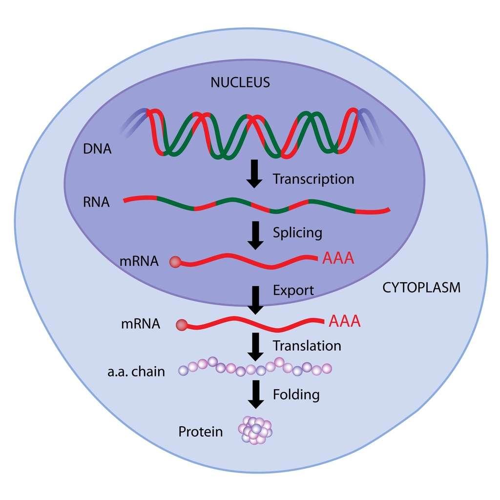 Dans le noyau, l'ADN du gène est transcrit en ARN qui subit un épissage (splicing) pour donner un ARNm qui sera traduit en protéine. L'épissage d'un même ARN peut donner lieu à plusieurs ARNm différents : c'est l'épissage alternatif. © Alila Medical Media, Fotolia